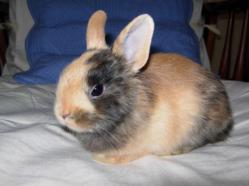 Lapin nain tro mignon lapin mignon noir et marron - Photo de lapin mignon ...